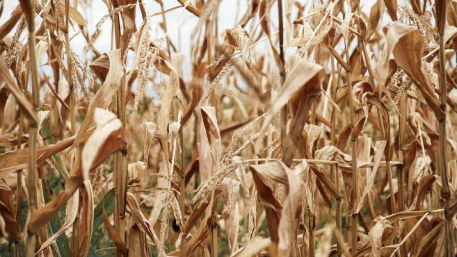 Do 29 listopada 2019 r., został przedłużony termin składania wniosków o pomoc dla rolników, którzy w bieżącym roku ponieśli straty w uprawach w wyniku suszy i innych niekorzystnych zjawisk atmosferycznych.